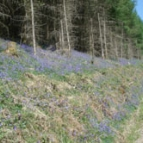 Bluebells by the tracks